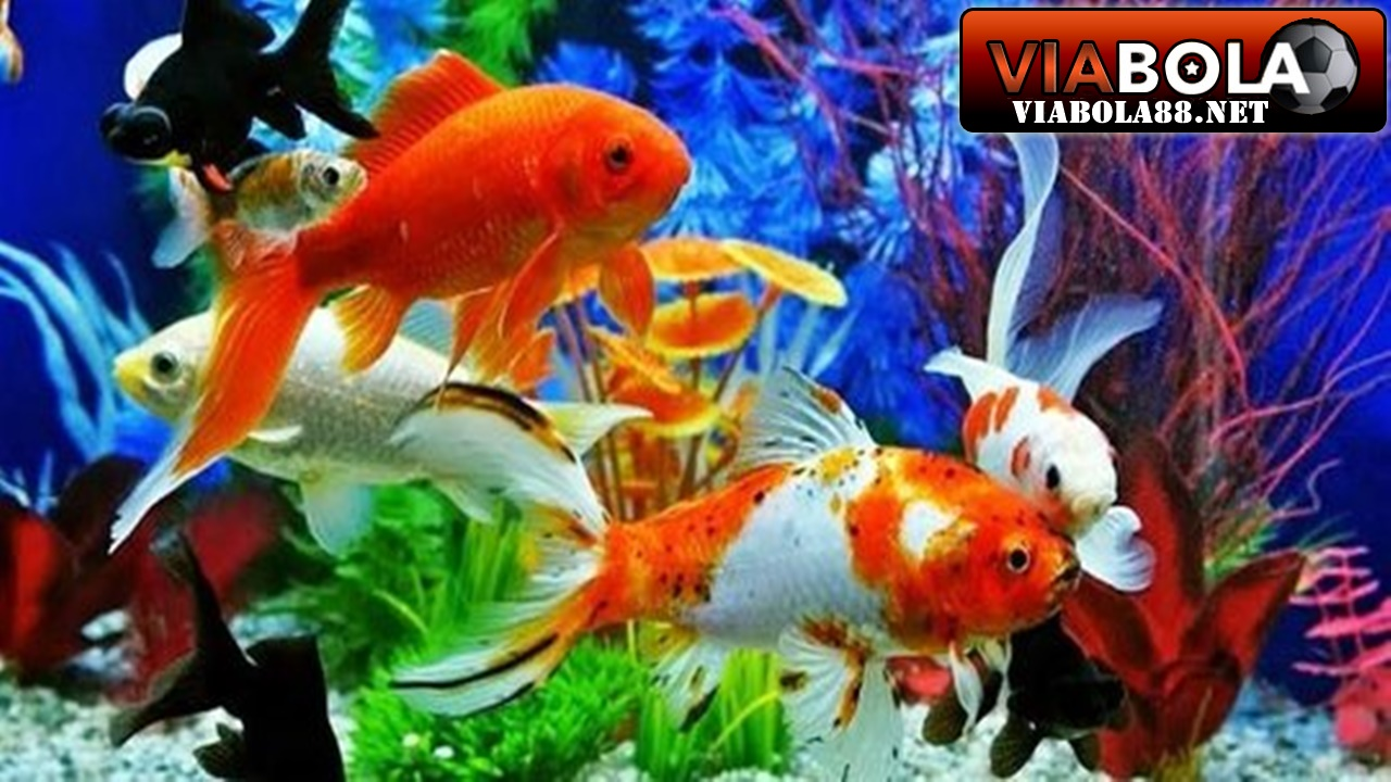 5 Daftar Ikan Hias Termahal Di Dunia - VIA Bola Lounge